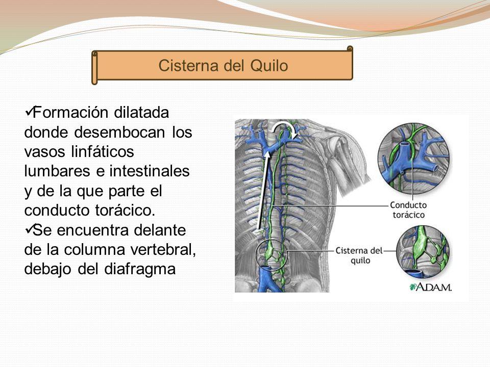 Sistema Linfático Fiorella González.. - ppt descargar
