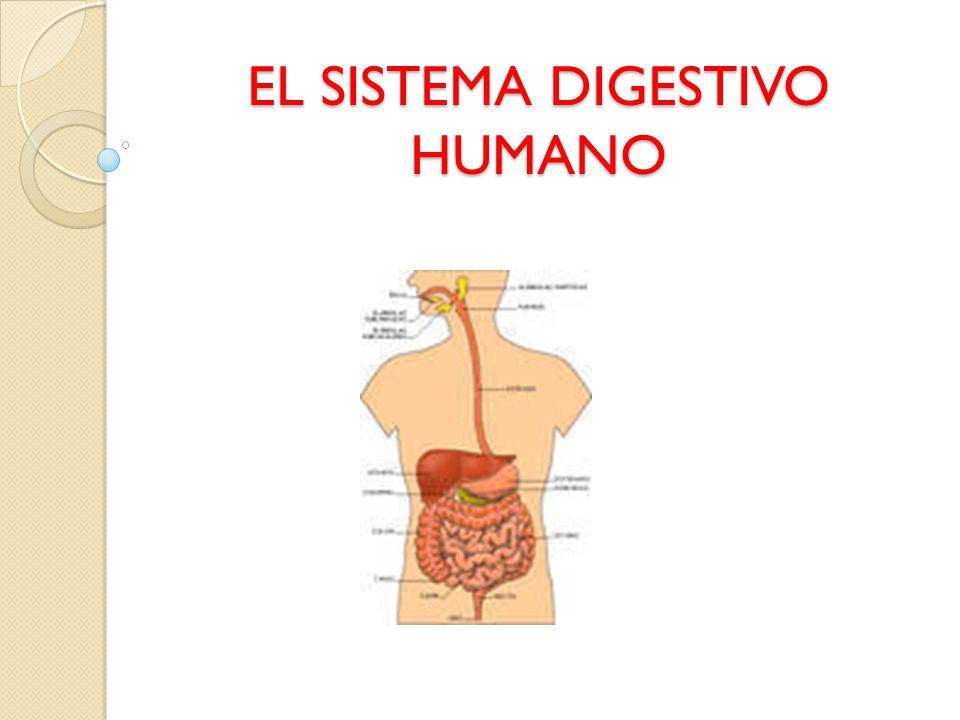 Contemporáneo Sistema Digestivo Pic Galería - Anatomía de Las ...