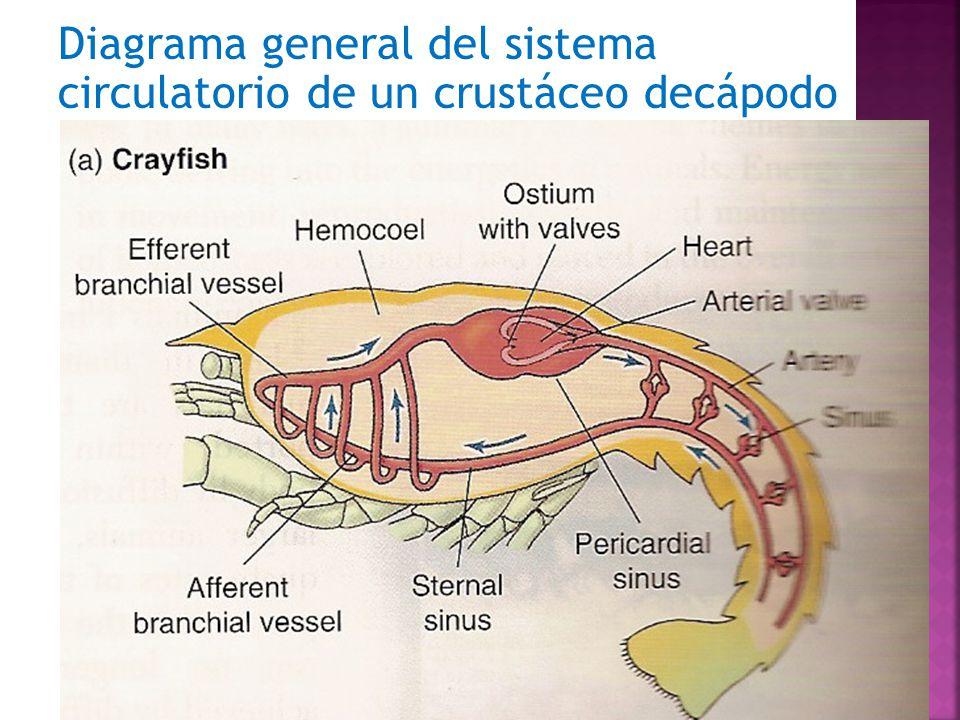 Respiración y Circulación en crustáceos - ppt descargar