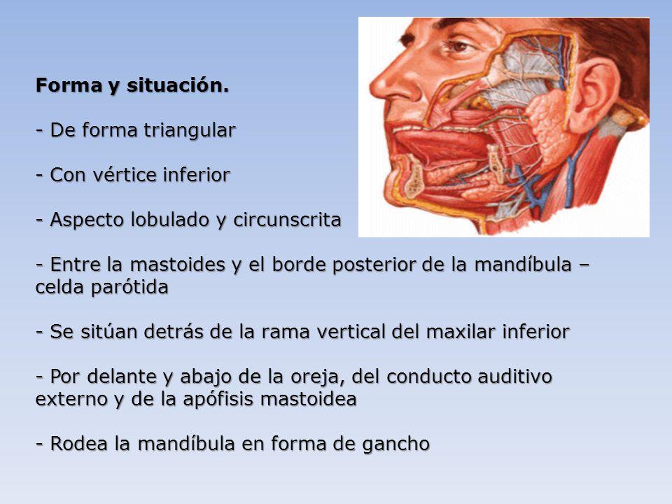 Asombroso Anatomía De La Glándula Parótida Ideas - Anatomía de Las ...