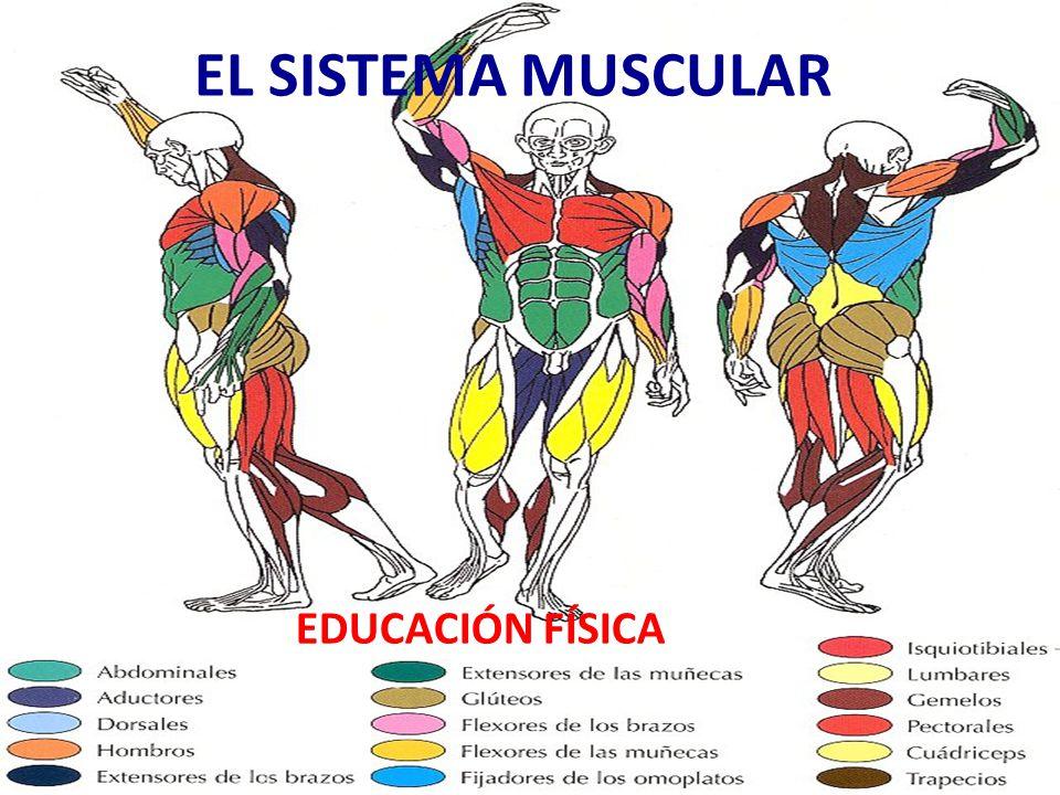 EL SISTEMA MUSCULAR EDUCACIÓN FÍSICA. - ppt descargar