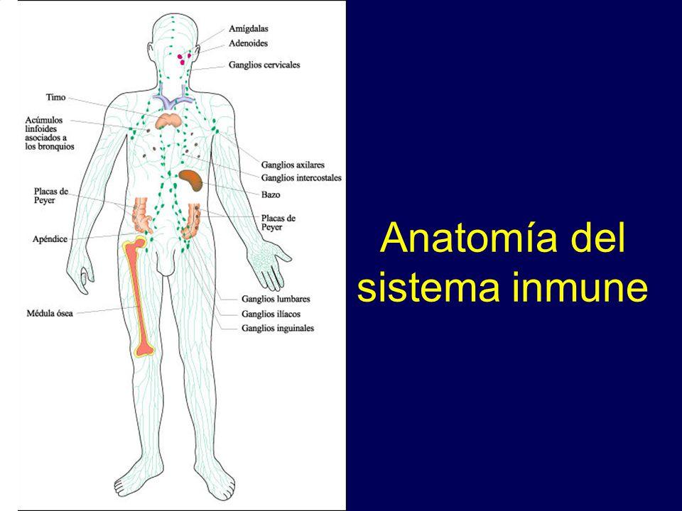Hermosa Anatomía Y Fisiología Del Sistema Inmune Bandera - Imágenes ...