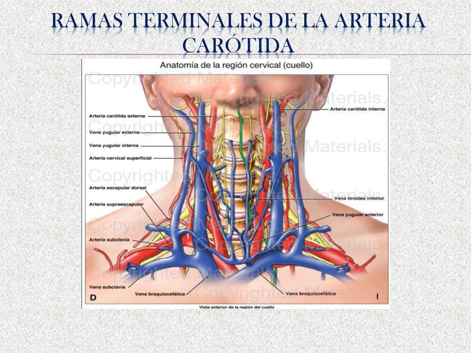 Perfecto Anatomía Izquierda Vena Yugular Interna Regalo - Anatomía ...