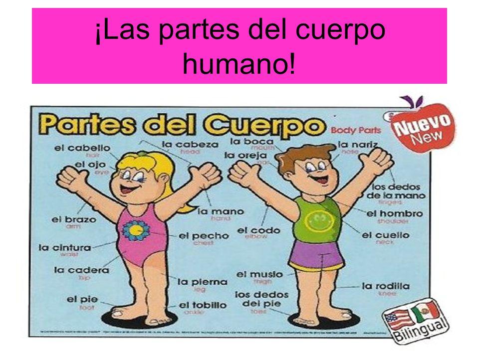 Las partes del cuerpo humano! - ppt descargar