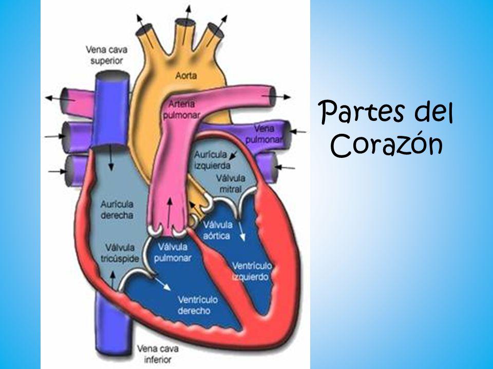 Increíble Partes Del Corazón Embellecimiento - Imágenes de Anatomía ...