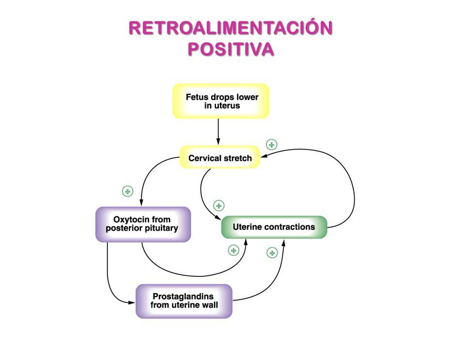 SISTEMA ENDOCRINO Glándulas endocrinas Sistemas de retroalimentación ...