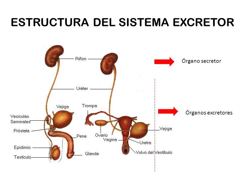 Fantástico Diagrama Del Sistema Excretor Cresta - Imágenes de ...