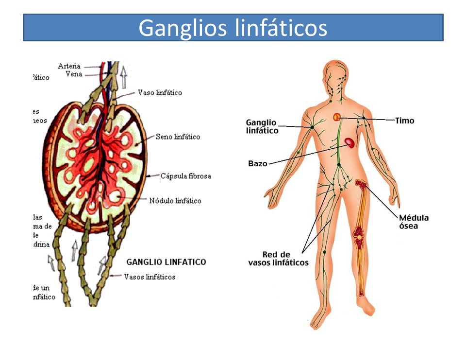 Tema 2: Los tejidos del cuerpo humano - ppt video online descargar