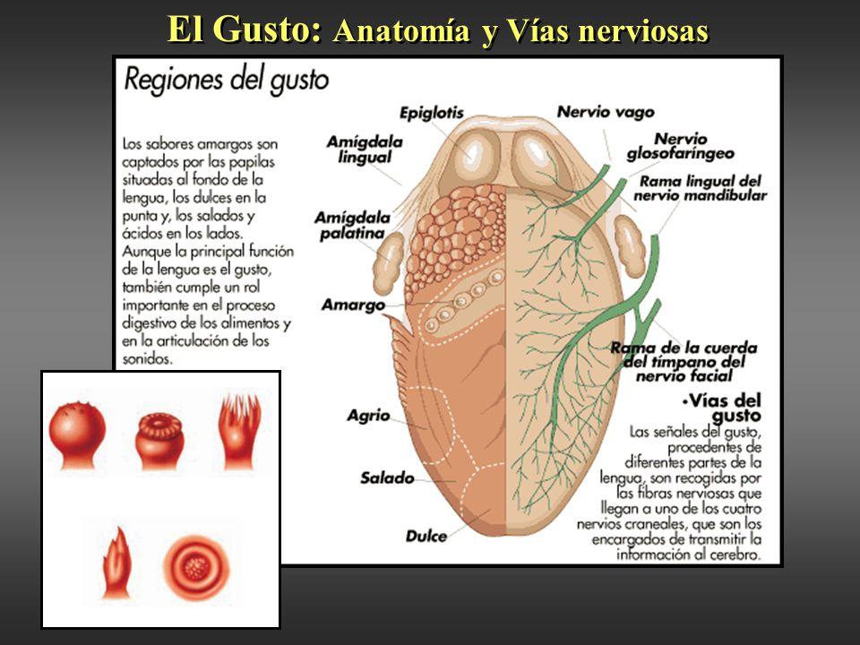 Increíble Anatomía De La Cara Inferior Lengua Motivo - Anatomía de ...