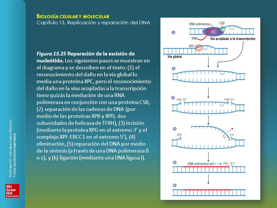 Capítulo 13 Replicación y reparación del DNA 13.1 Replicación del ...