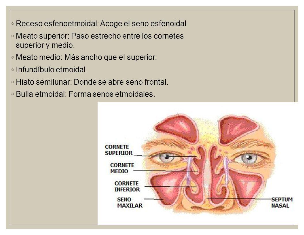 Nariz Se divide en izquierda y derecha debido al tabique nasal ...
