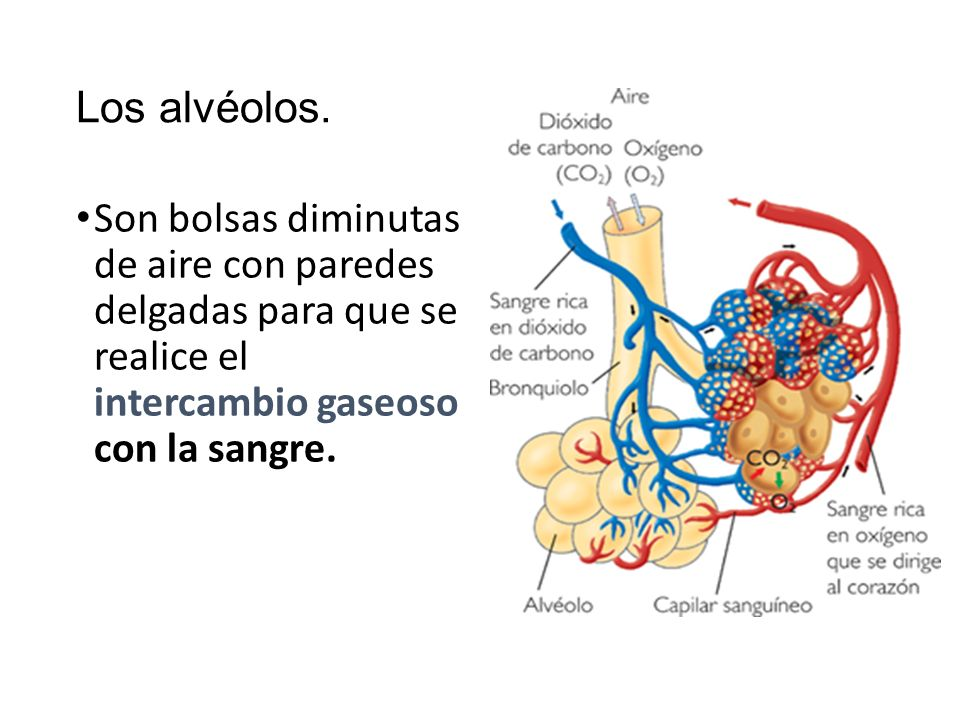 Sistema respiratorio. - ppt video online descargar