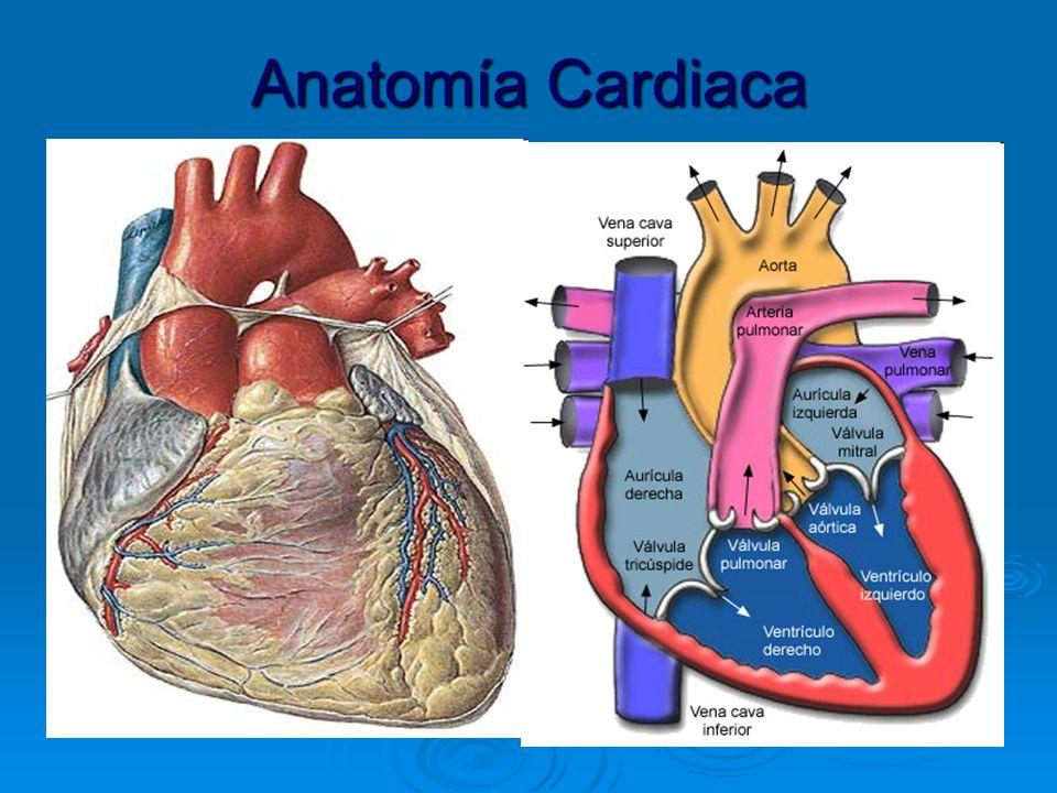 FISIOLOGÍA CARDIOVASCULAR Cátedra de Anatomía y Fisiología Humana ...