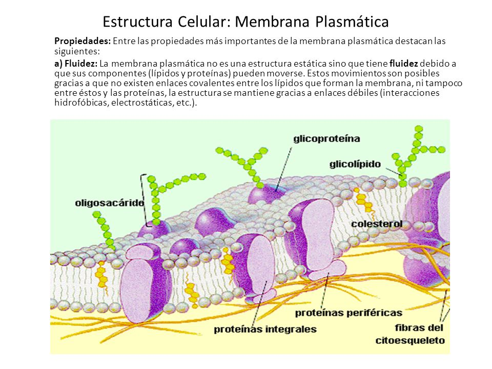 Estructura Celular Membrana Plasmática Ppt Video Online