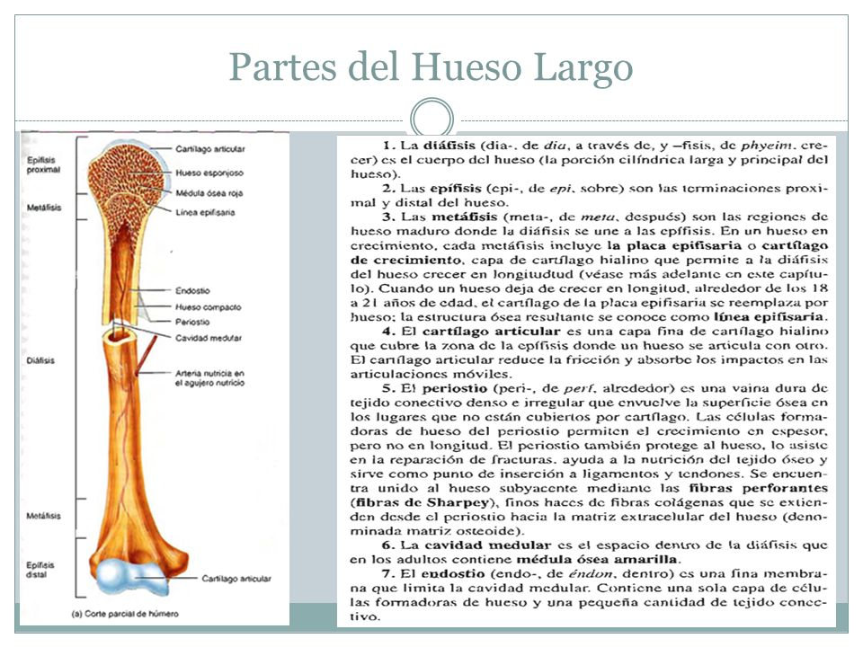 Atractivo Anatomía De Una Hoja De Cálculo De Los Huesos Largos Fotos ...