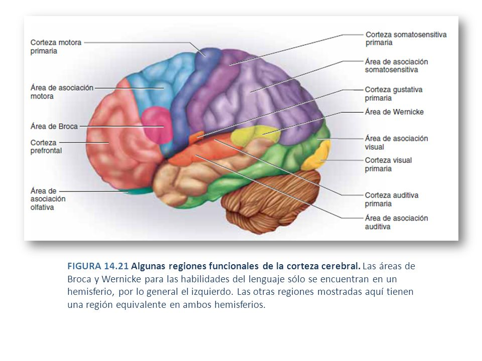 Excepcional Anatomía Funcional Del Cerebelo Foto - Imágenes de ...