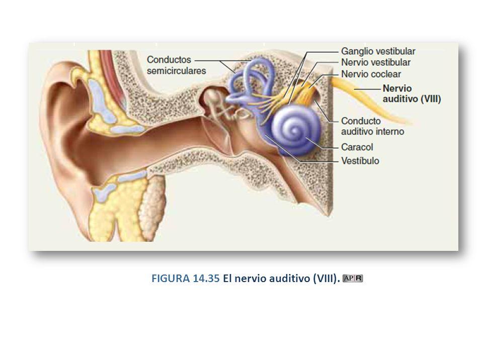 Sistema Nervioso Encéfalo Morfofisiología Básica. - ppt descargar