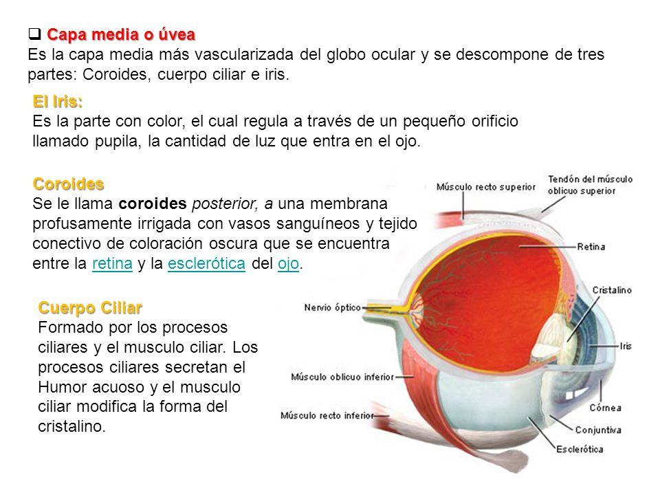 Asombroso Anatomía Músculo Ciliar Regalo - Imágenes de Anatomía ...