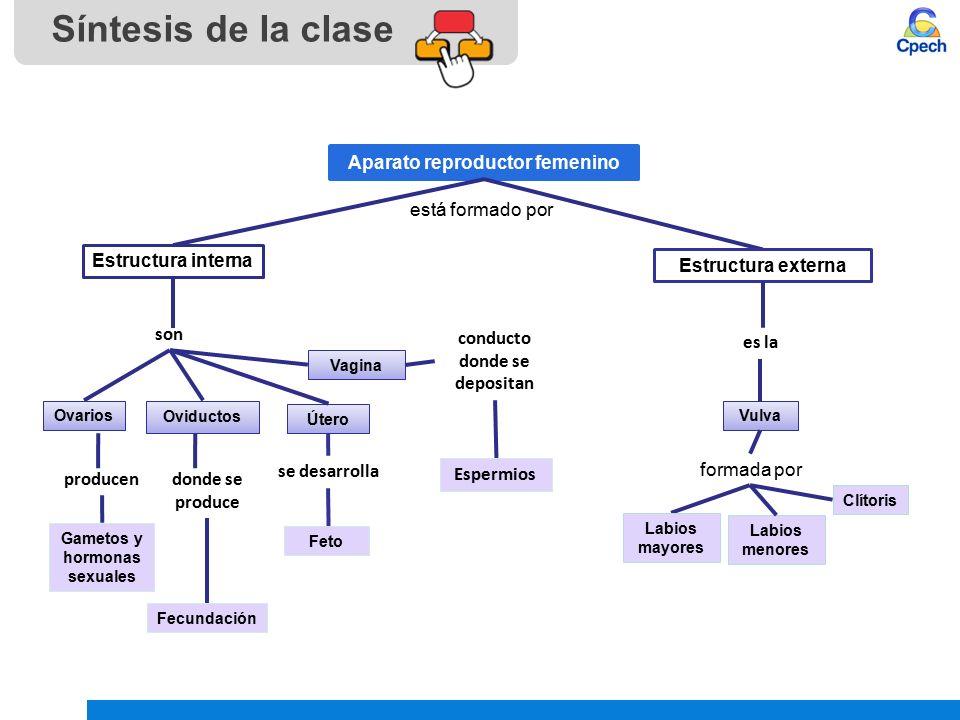 Moderno Hembra Diagrama De Sistema Reproductivo Marcado ...