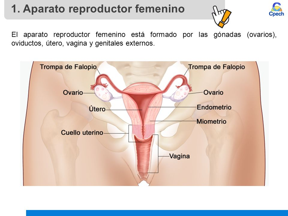 Aparato Reproductor Femenino Y Ciclo Sexual Ppt Video