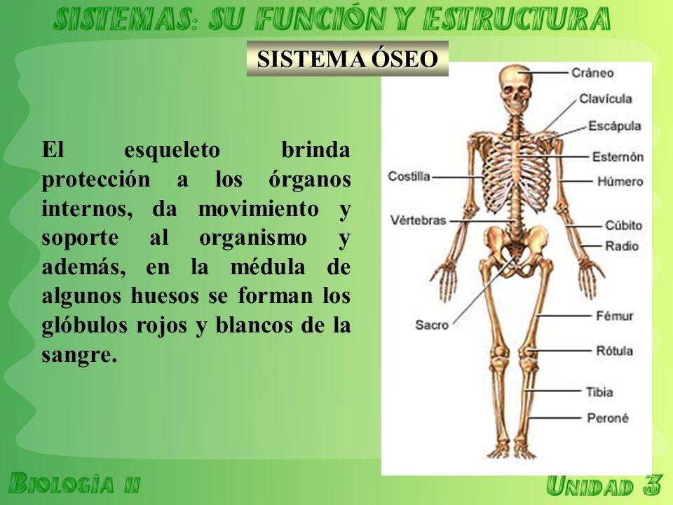 BIOLOGÍA II TEMA 3. RELACIÓN TEJIDO-ÓRGANO-SISTEMA - ppt descargar