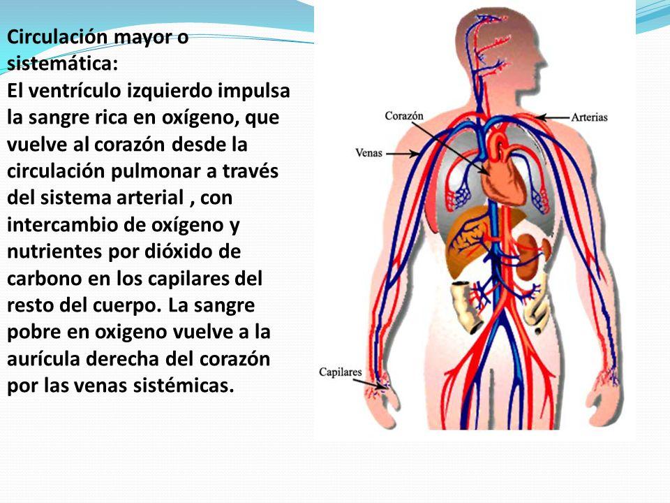 Lujo La Imagen De Las Arterias En El Cuerpo Bandera - Imágenes de ...