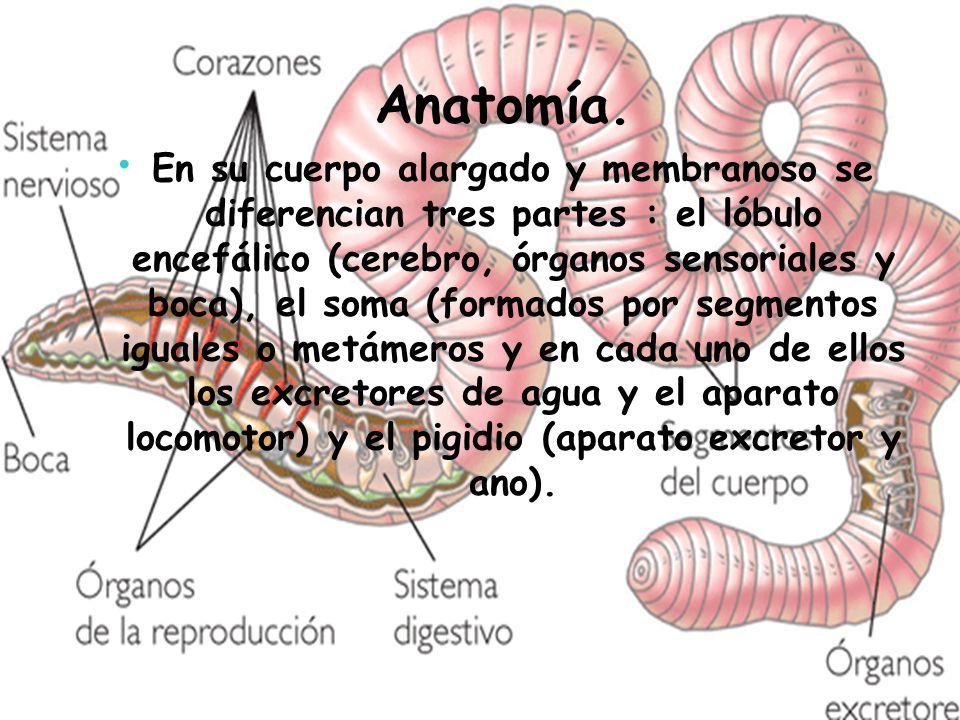 Anélidos. - ppt video online descargar