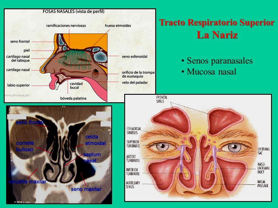 UNIDAD 5 ANATOMO-FISIOLOGÍA Sistema Respiratorio. - ppt video online ...