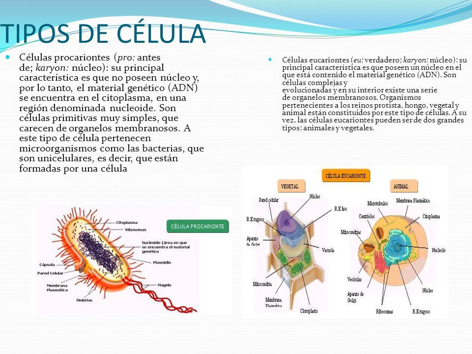 CÉLULA La célula es la unidad anatómica, funcional y genética de los ...