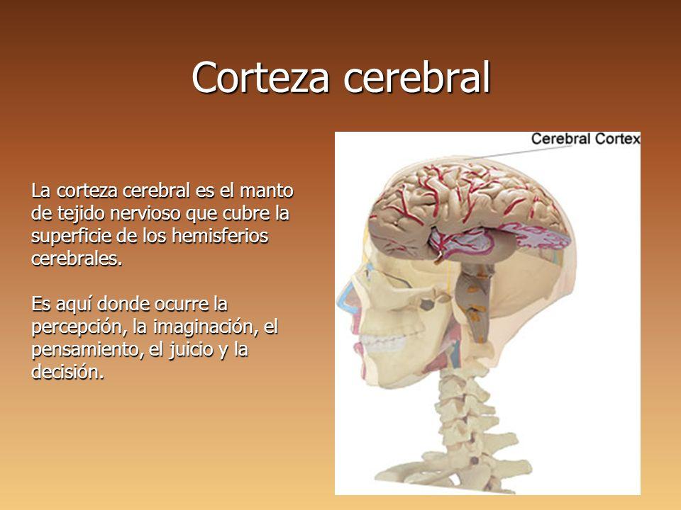 Capas Corteza Cerebral Ilustración Neurociencias — Sceneups