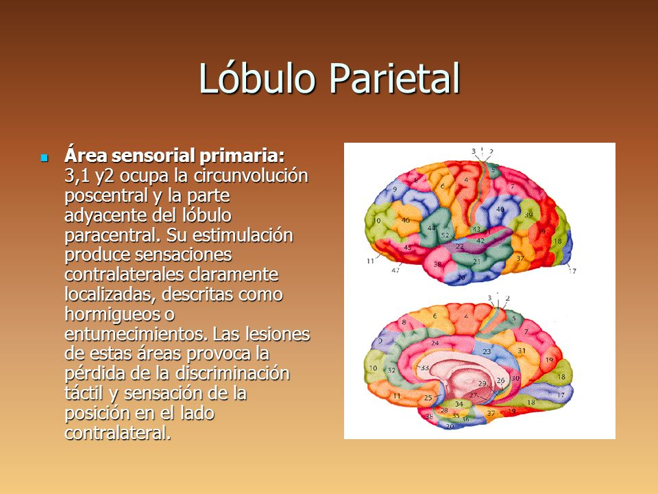 Corteza Cerebral. - ppt video online descargar