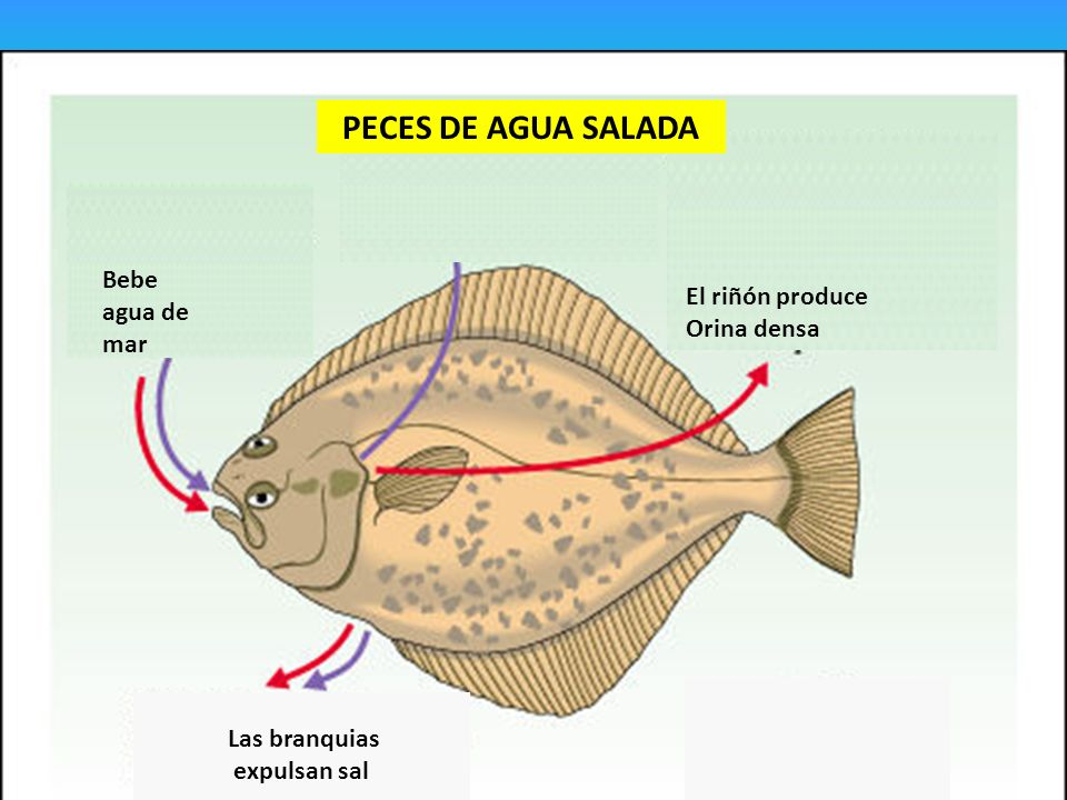 PECES. - ppt video online descargar