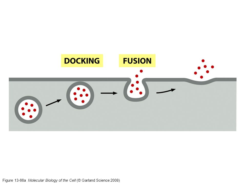 Figure 13-66a Molecular Biology of the Cell (© Garland Science 2008)