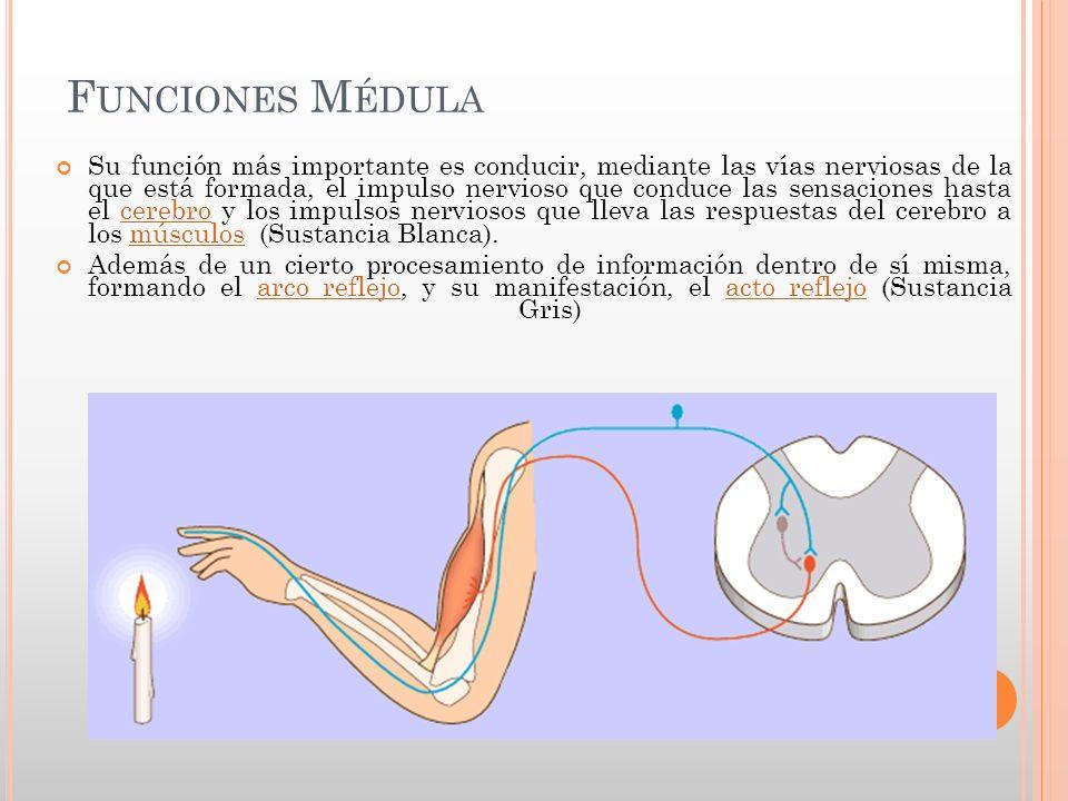 MEDULA ESPINAL Y ARCO REFLEJO - ppt video online descargar