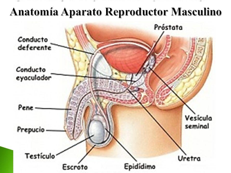 Único La Anatomía Del Aparato Reproductor Masculino Fotos - Imágenes ...