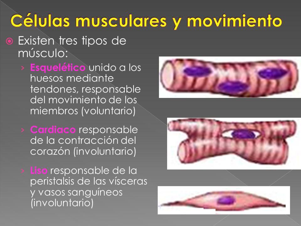 Citoesqueleto de la fibra muscular - ppt video online descargar
