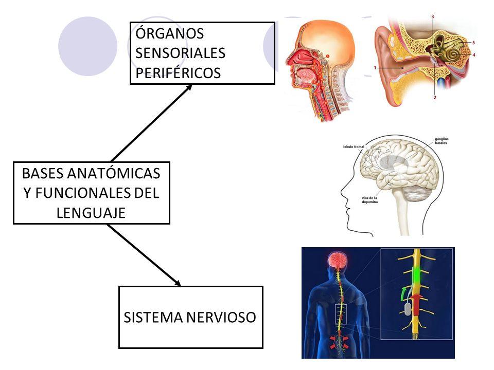 Excelente Anatomía De La Producción Del Habla Festooning - Imágenes ...