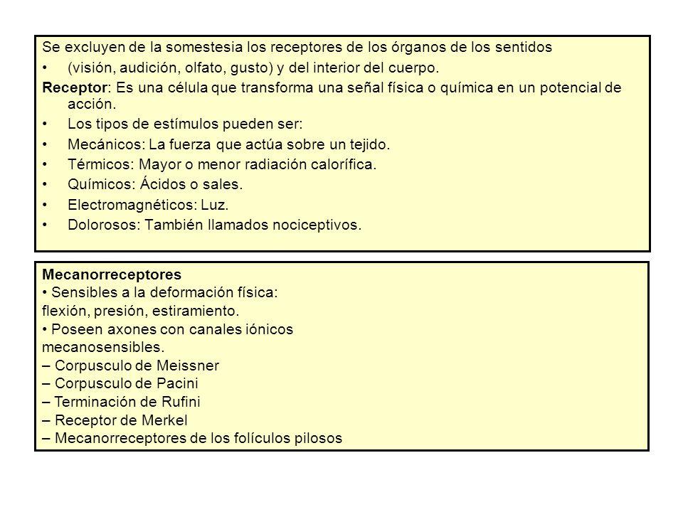 SOMESTESIA CÁTEDRA DE ANATOMÍA Y FISIOLOGÍA HUMANA - ppt descargar