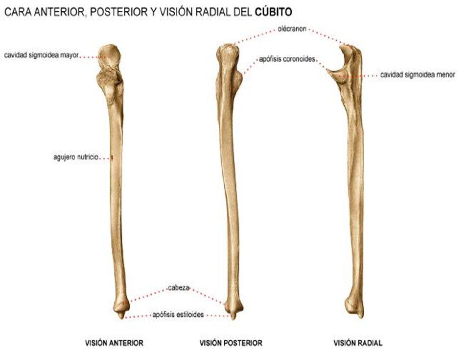 Dorable La Imagen Del Hueso Cúbito Patrón - Anatomía de Las ...