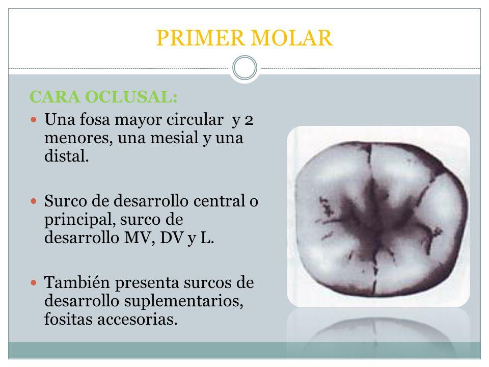 MORFOLOGÍA DE MOLARES INFERIORES - ppt descargar