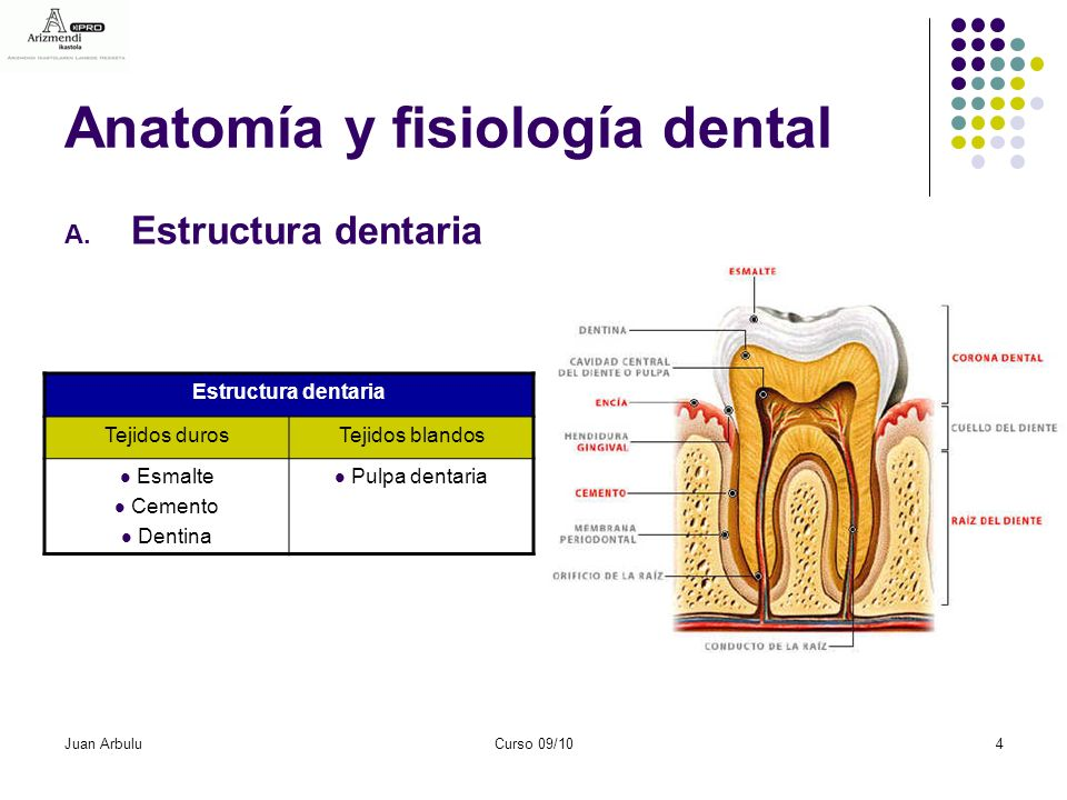 Único Anatomía Y Fisiología De Los Dientes Patrón - Anatomía de Las ...