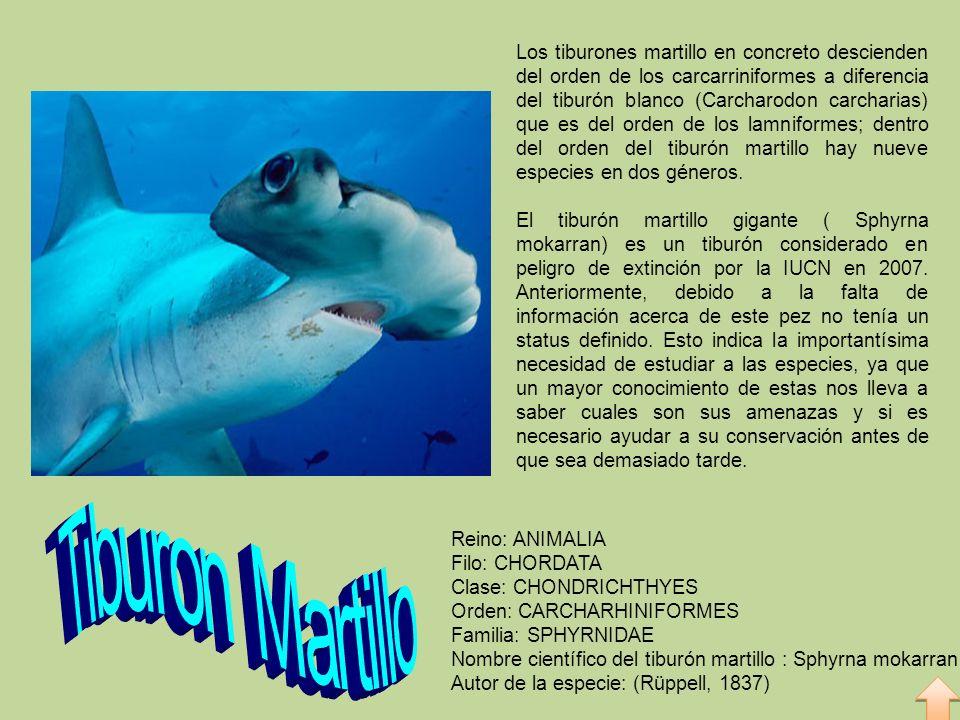 Moderno Anatomía De Un Tiburón Martillo Modelo - Anatomía de Las ...