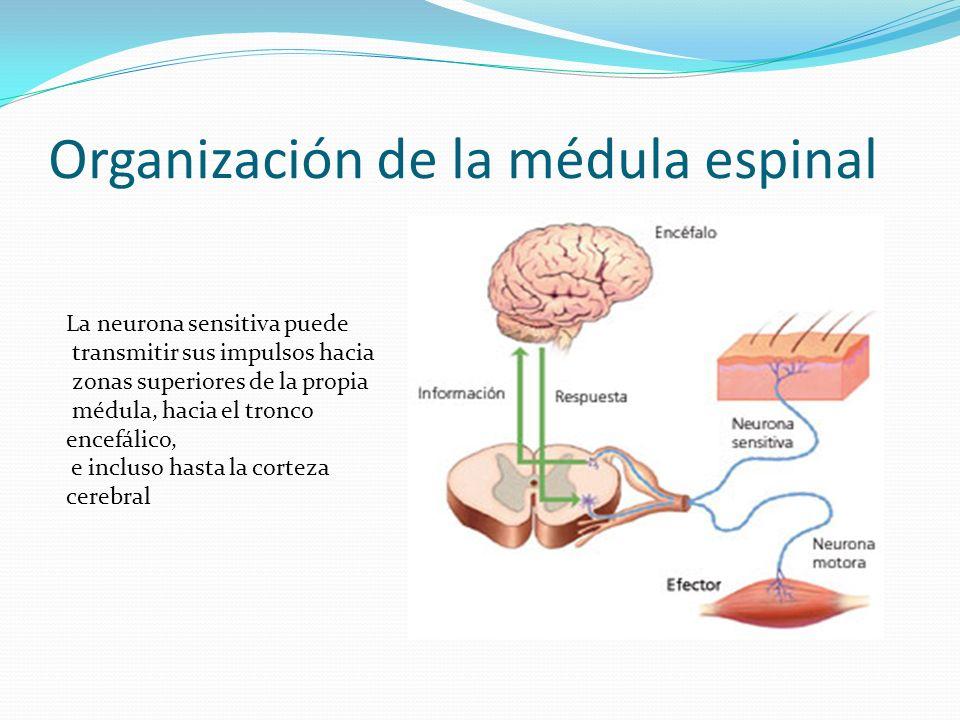 Reflejos Medulares Sumario: Organización de la médula espinal - ppt ...