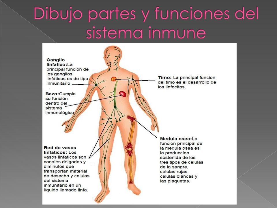 Único Principales Funciones Del Sistema Inmune Ideas - Anatomía de ...