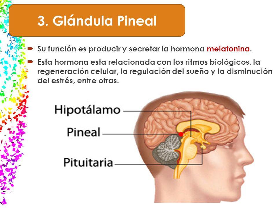 Único Funciones De La Glándula Pineal Ornamento - Imágenes de ...