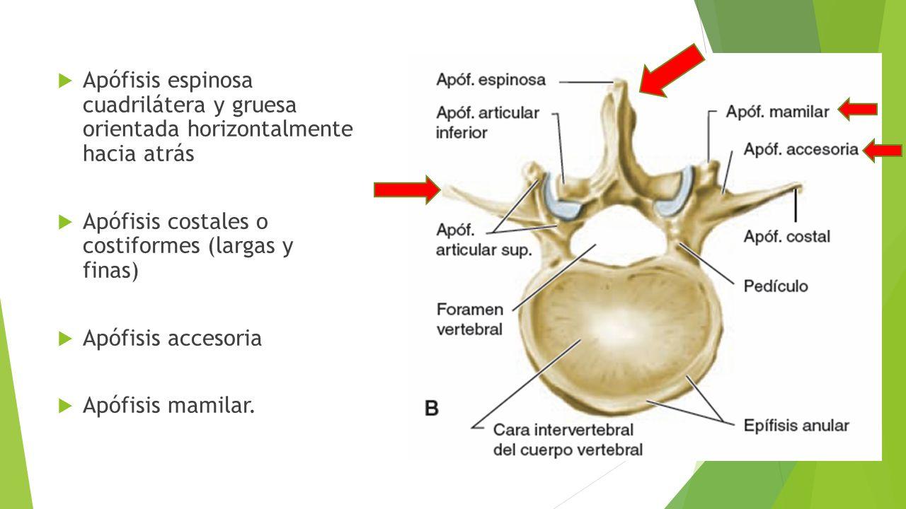Bonito Anatomía Apófisis Espinosa Componente - Anatomía de Las ...