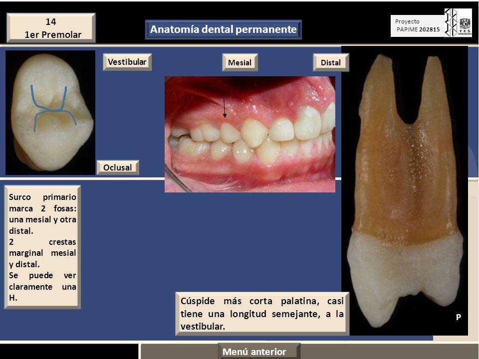 Contemporáneo Vídeos Anatomía Dental Componente - Imágenes de ...
