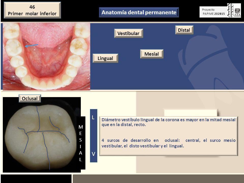 Anatomía dental permanente - ppt descargar