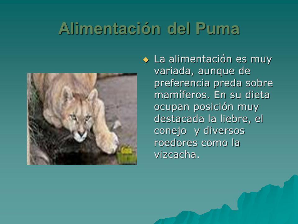 Desarmamiento puede vistazo  EL PUMA CHILENO. - ppt video online descargar