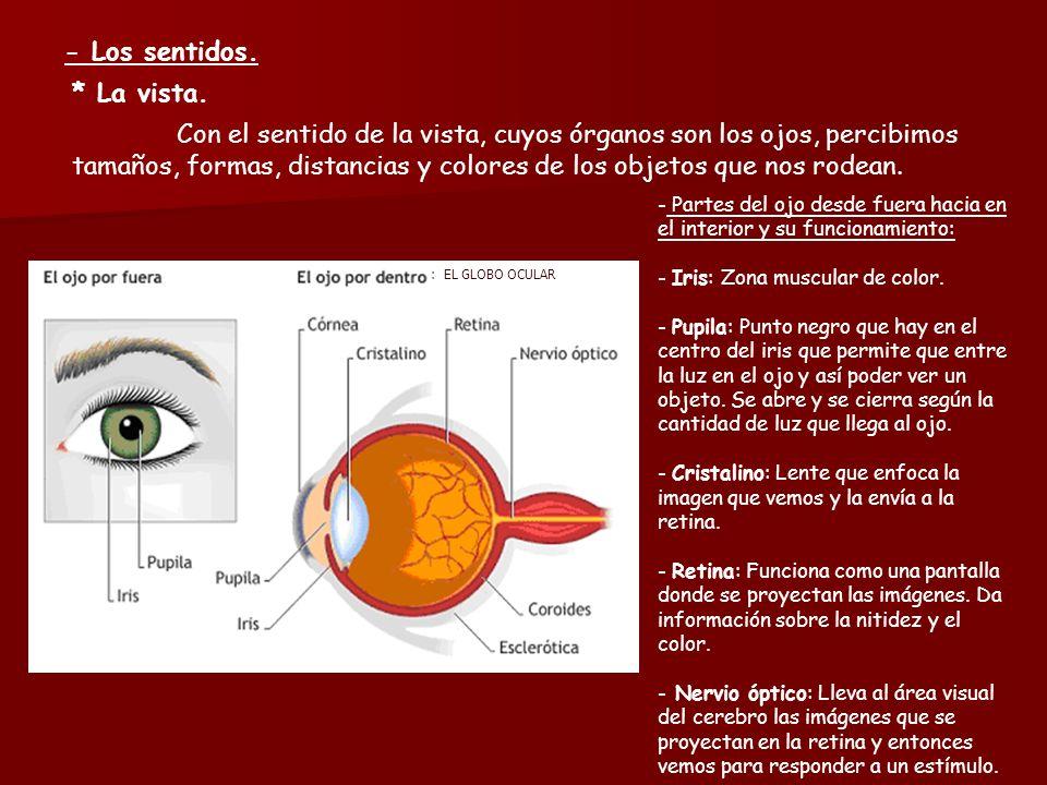 LA RELACIÓN HUMANA - La función de relación. Órganos de los sentidos ...
